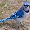 BlueJay avatar